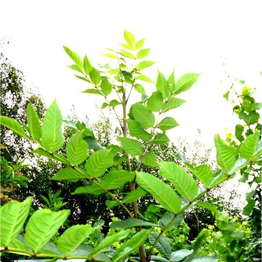 Eschenblätter zum Räuchern, getrocknet-2