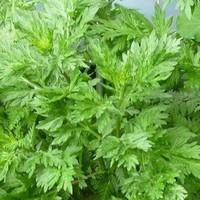 thumb-Beifuß (Artemisia vulgaris)-2