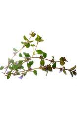 Gundermann / Gundelrebe (Glechoma hederaceum)