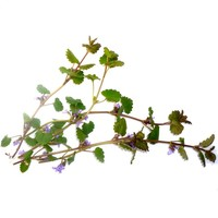 thumb-Gundermann / Gundelrebe (Glechoma hederaceum)-3