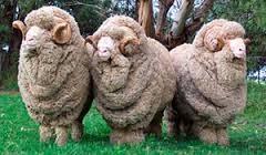 Het Merino Schaap en zijn wol