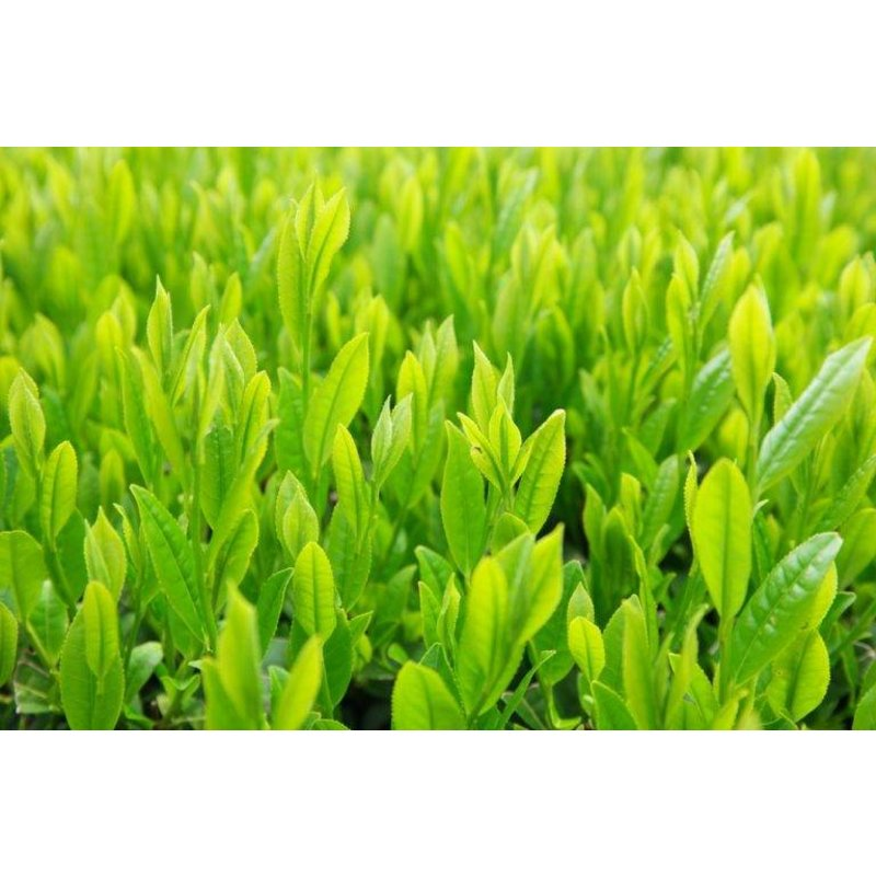 Sencha from the first harvest