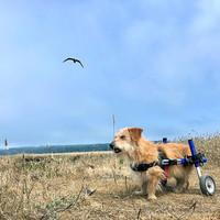 thumb-Rolstoel voor gehandicapte hond-5
