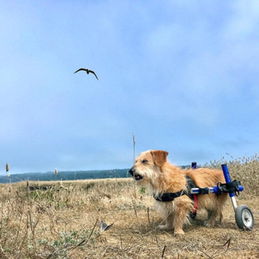 Rolstoel voor gehandicapte hond-5