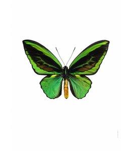 Macro photo Print | 50x70 cm | Green Ornithoptera priamus