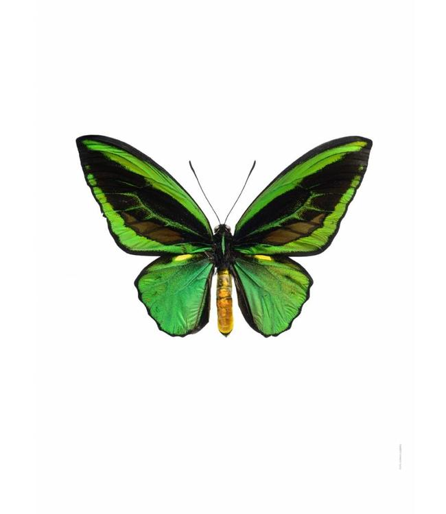 Liljebergs Macrofoto Poster | Ornithoptera priamus