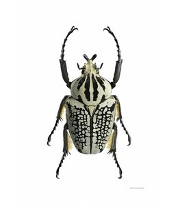 Liljebergs Macrofoto Print | Goliathus orientalis | 50x70 cm