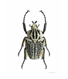 Macrofoto Print | 50x70 cm | Goliathus orientalis