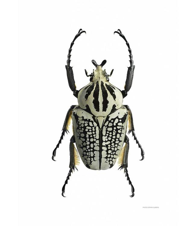 Liljebergs Macrofoto Poster | Goliathus orientalis