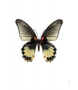 Foto Print Vlinder | 30x40 cm | Papilio memnon