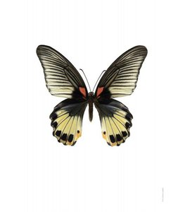 Photo Print | 30x40 cm | Papilio memnon