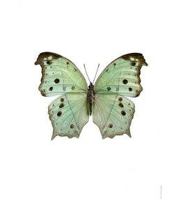 Foto Print Vlinder | 30x40 cm | Salamis parhassus