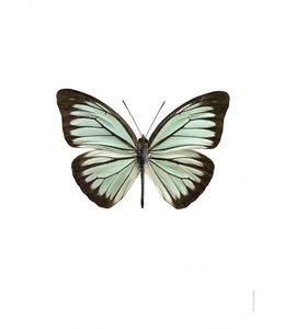 Foto Print Vlinder | 30x40 cm | Pareronia valeria