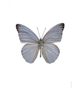 Foto Print Vlinder | 30x40 cm | Appias celestina