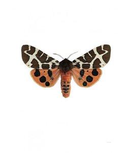 Photo Print Moth   30x40 cm   Arctia caja