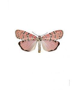 Photo Print Moth   30x40 cm   Utethesia ornatrix
