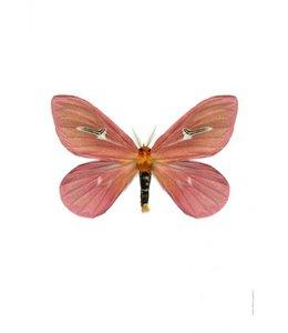 Print Vlinder Mot | Cerodirphia apunctata