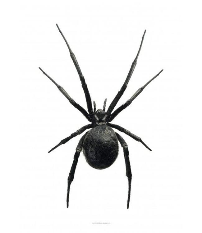 Liljebergs Macrofoto Poster | Black Widow | 30x40 cm
