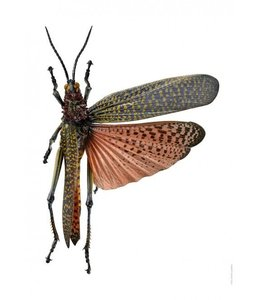 Liljebergs Macrofoto Krekel Phymateus saxosus | A4