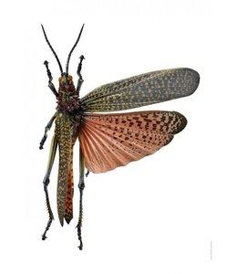 Macrofoto Krekel Phymateus saxosus | A4