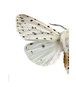 Dubbele Macrofoto Tijgervlinder