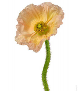 Macrophoto Print Flower Poppy