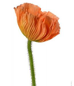 Liljebergs Macrophoto Print Flower Corn Poppy