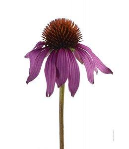 Liljebergs Macrophoto Print Purple Coneflower