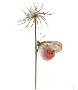 Macrofoto Vlinder Cithaerias aurorina | 30x40 cm