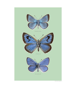 Liljebergs Blue Wings Butterflies | A4