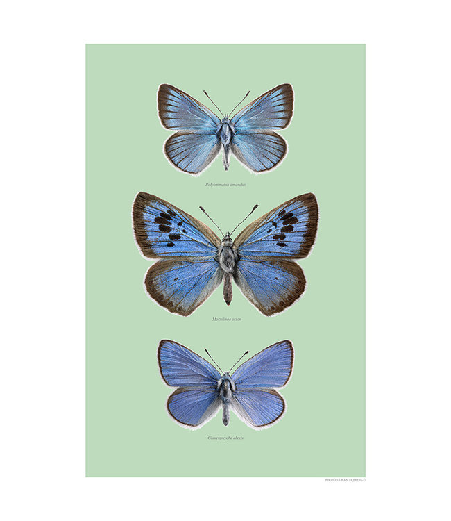 Liljebergs Blue wings, green Tinted background with name a4