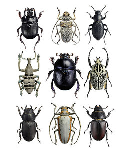 Macrofoto Print | Beetles Black and White