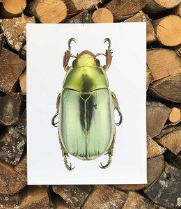 Liljebergs Macrofoto Chrysina strasseni  | 30x40 cm