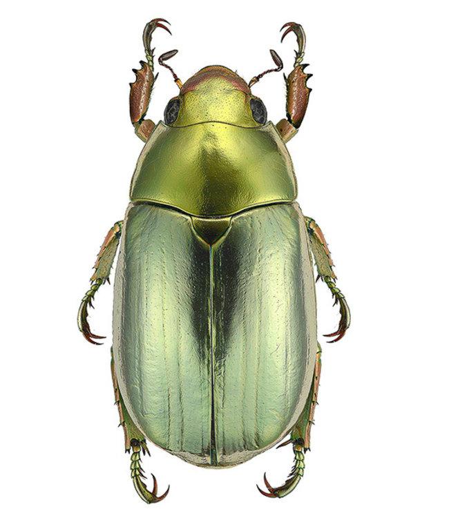 Liljebergs Macrofoto Poster | Chrysina strasseni | Green Bug