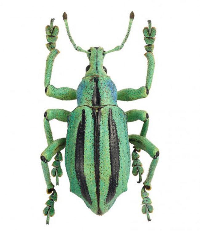 Liljebergs Macrofoto Poster | Eupholus cuvieri | groene kever