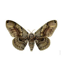 Liljebergs Poster foto Vlinder Brahmaea wallichii