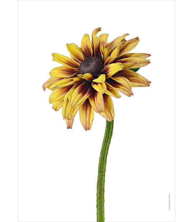 Liljebergs Macro photo Poster Flower yellow Rudbeckia