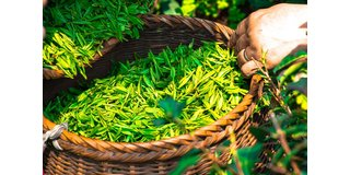 De gezondheidsvoordelen van Groene Thee