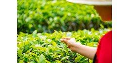 Welke verschillen zitten er in groene thee? Japans vs Chinees!