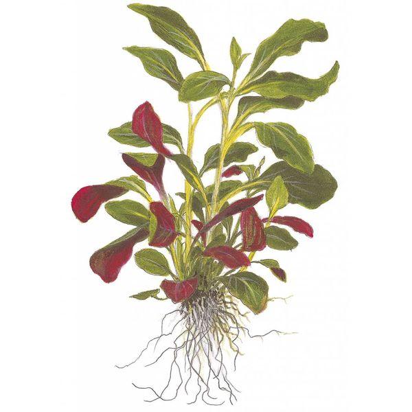 Tropica Lobelia cardinalis