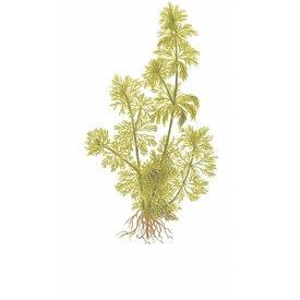 Tropica Limnophila sessiliflora