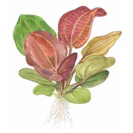 Tropica Echinodorus 'Reni'