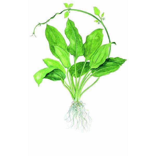 Tropica Echinodorus 'Bleherae'