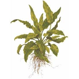 Tropica Cryptocoryne wendtii 'Green'