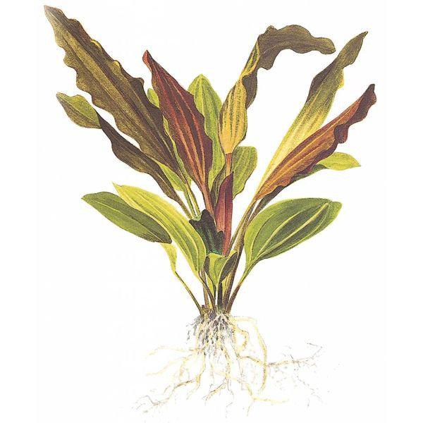 Tropica Echinodorus 'Rosé'