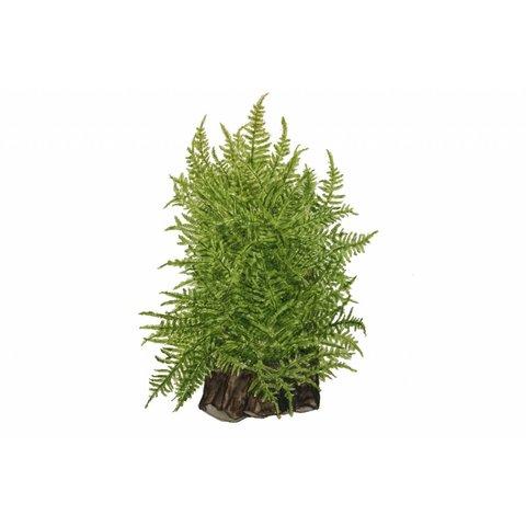 Taxiphyllum alternans 'Taiwan moss'