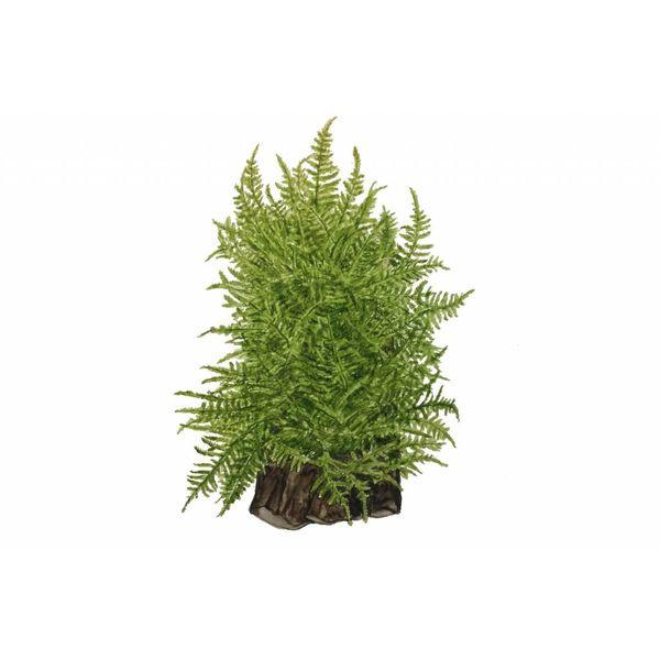 Tropica Taxiphyllum alternans'Taiwan moss'