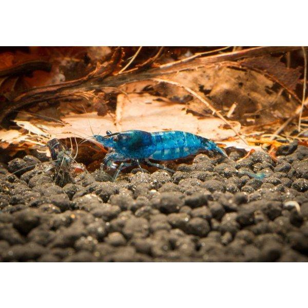 Garnelenmarkt Blue Dream/Blue Velvet- Neocaridina davidi var. blue