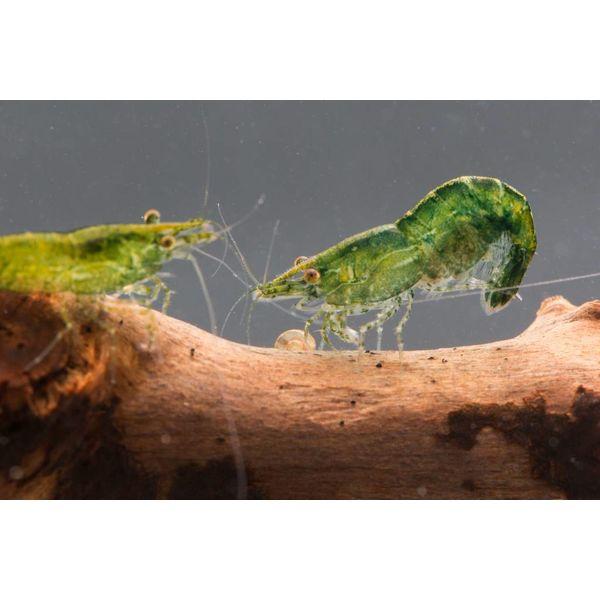 Garnelenmarkt Green Jade - Neocaridina davidi var.  Green Jade