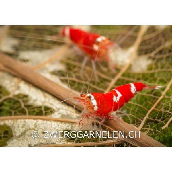 Garnelenmarkt Super Crystal Red - Low Grade